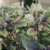 Herb Basil - Dark Lady