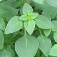 Herb Basil - Green Superglobe