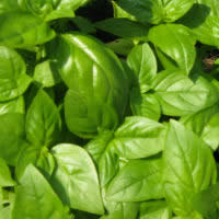 Herb Basil - Sweet