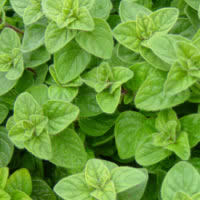 Herb Oregano - Greek