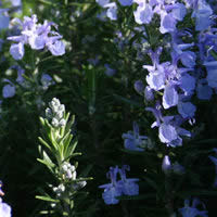 Herb Rosemary - Tuscan Blue