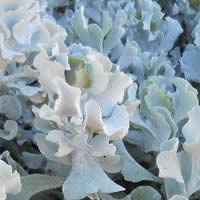 Cotyledon Silver Waves